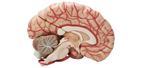 Anatomia Do Sistema Nervoso Central E Periférico Cursos